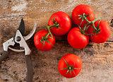 Freshly picked home grown tomatoes