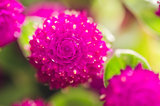 Globe Amaranth or Bachelor Button flower