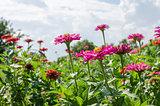 Zinnia flower and blue sky