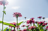 Zinnia flower and blue sky