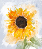 Watercolor Image Of  Sunflower