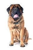 slobber of mastiff