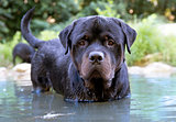swimming rottweiler