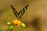 Striped butterfly on yellow flower