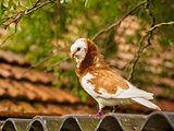 Red and white dove on rooftop