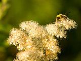 Wasp on a powdery flower