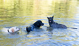 three dog in river