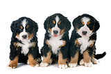 puppies bernese moutain dog