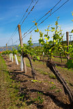 Vineyards at sunny day, grapes in spring