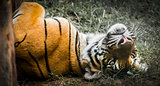 Playful Tiger