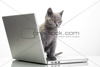 a kitten and a laptop