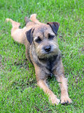 Puppy Border Terrier on a meadow
