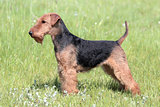 Welsh Terrier on a summer meadow