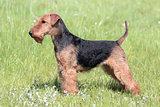 Welsh Terrier on a summer meadow