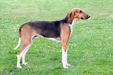 Typical Scenthound Poitevin dog on a spring meadow