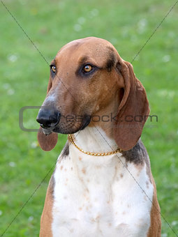Portrait of typical Scenthound Poitevin on a spring meadow