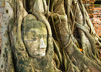 A buddha head inside a tree in Thailand