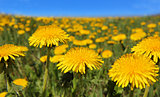 Yellow dandelion flowers with leaves in green grass,