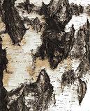 Birch bark texture pattern
