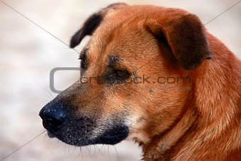 Portrait red dog