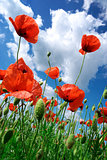Poppies composition
