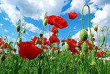 Poppys and sky