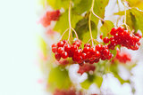 Red Viburnum berries in the tree