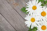 Daisy camomile flowers