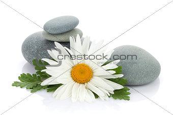 Daisy camomile flower
