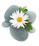 Daisy camomile flower and sea stones