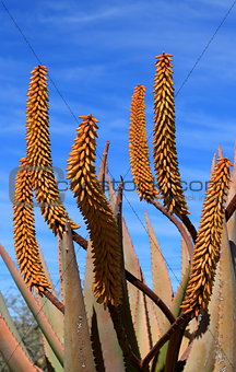 Aloe Ferox plant detail (Species distributed throughout a large