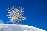 snow-covered tree on a background of blue sky