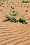 Xerophytic plant in the sandy Namib Desert.