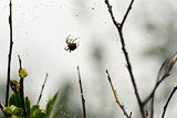 Spider web and spider in the forest after the rain