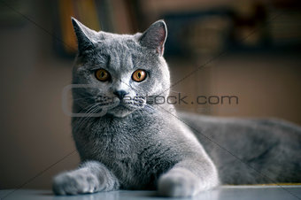 Cat breed British Shorthair Blue on the table