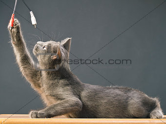 Breed Russian Blue cat playing on the table