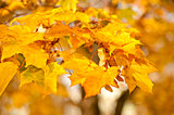 Yellow maple leaves on a tree in autumn