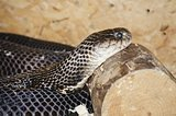 Ringhals (South African Spitting Cobra)