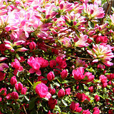 Arlington Cemetery Red & pink Azalee flower 2010
