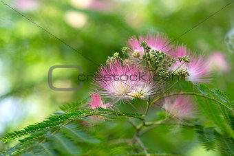 Persian acacia