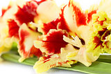 Bright red and yellow gladiolus \ close up \ horizontal