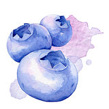 Blueberries. Watercolor illustration