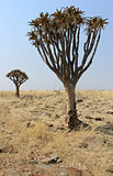 Quiver tree (Aloe dichotoma) in the Namib desert landscape