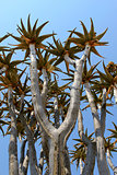 Quiver tree (Aloe dichotoma) tipical in the Namib desert