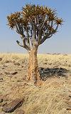 Quiver tree (Aloe dichotoma) in the Namib desert landscape