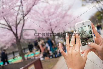 Woman Hand Take A Photo Of Sakura