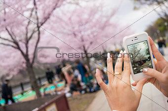 Woman Hand Take A Photo Of Sakura