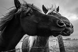 Islandic Ponies