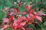 scene with red oak-tree