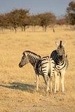 Herd of Burchell´s zebras in Etosha wildpark